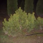 Хвойные деревья для дачи